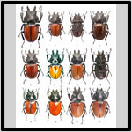 Coleoptera_Atlas