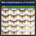 Macro_lepidoptera